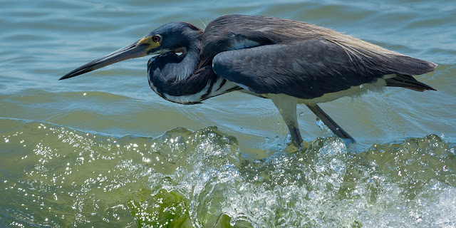 Tricolored Heron, Bolivar Peninsula