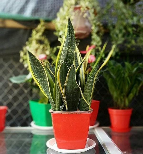 Vì tác dụng làm sạch không khí hữu hiệu nên lưỡi hổ được trồng nhiều trong nhà
