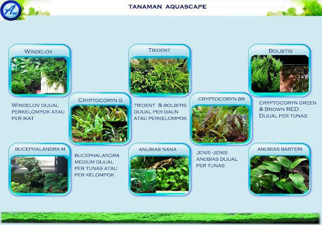Jenis Jenis Tanaman Aquascape Tanpa Co2 - Berbagi Tanam
