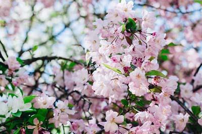 Sejarah Dan Jenis Jenis Bunga Sakura Yang Terkenal Info Global Kita