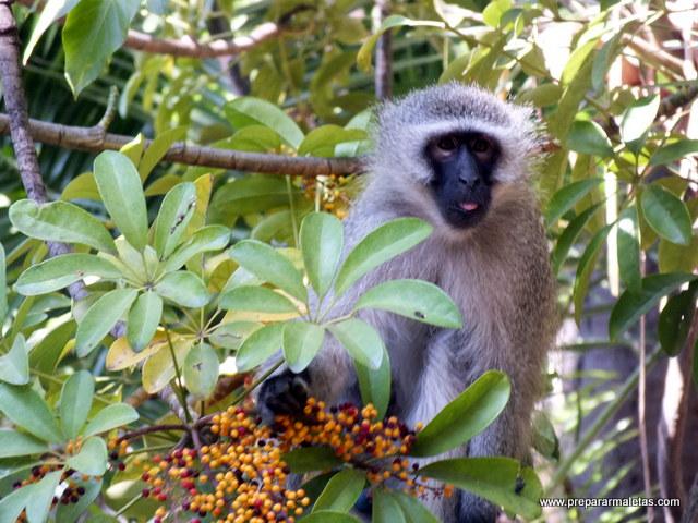 mono sudáfrica