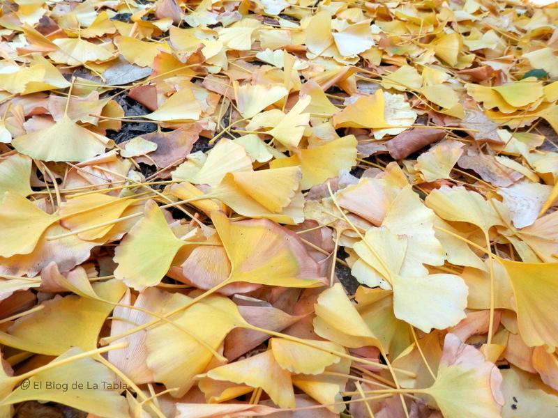 hojas en el suelo del arbol ginkgo bilboa, fosil viviente