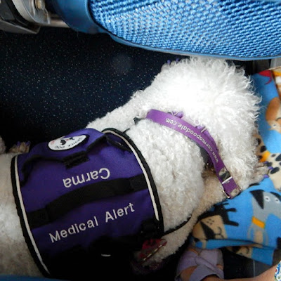 service dog on a plane- carma poodale