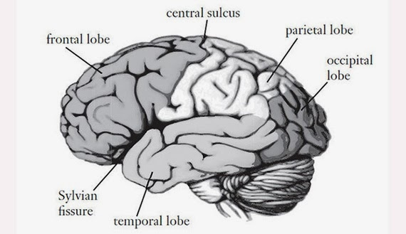 Top Brain, Bottom Brain: Surprising Insights Into How You ...
