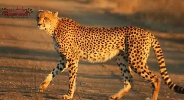 تعرف على أنواع الفهود وأماكن تواجده وماهى مميزاته Leopard