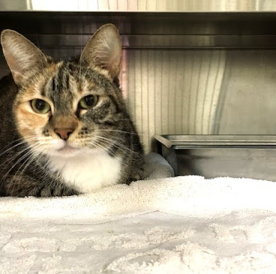 Tabby cat up for adoption