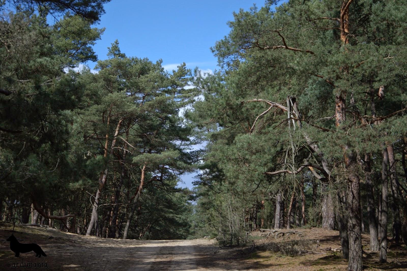 Yuma, yuma w lesie, las, spacer, słońce, zabawa, gonitwa, łoś, welsh corgi, welsh corgi cardigan, corgi, cardigan, pies, pies w lesie, zabawa, spacer po lesie, spacer po Kampinosie