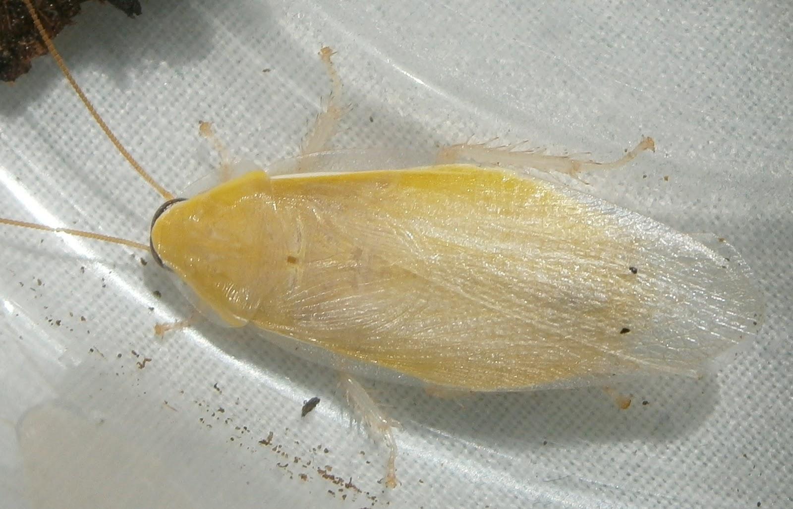 Hisserdude's Roaches - Page 2 PanchloraYellow%25232