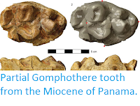 http://sciencythoughts.blogspot.co.uk/2016/03/partial-gomphothere-tooth-from-miocene.html