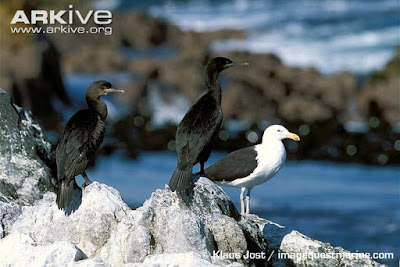 Bank Cormorant with kelp gull