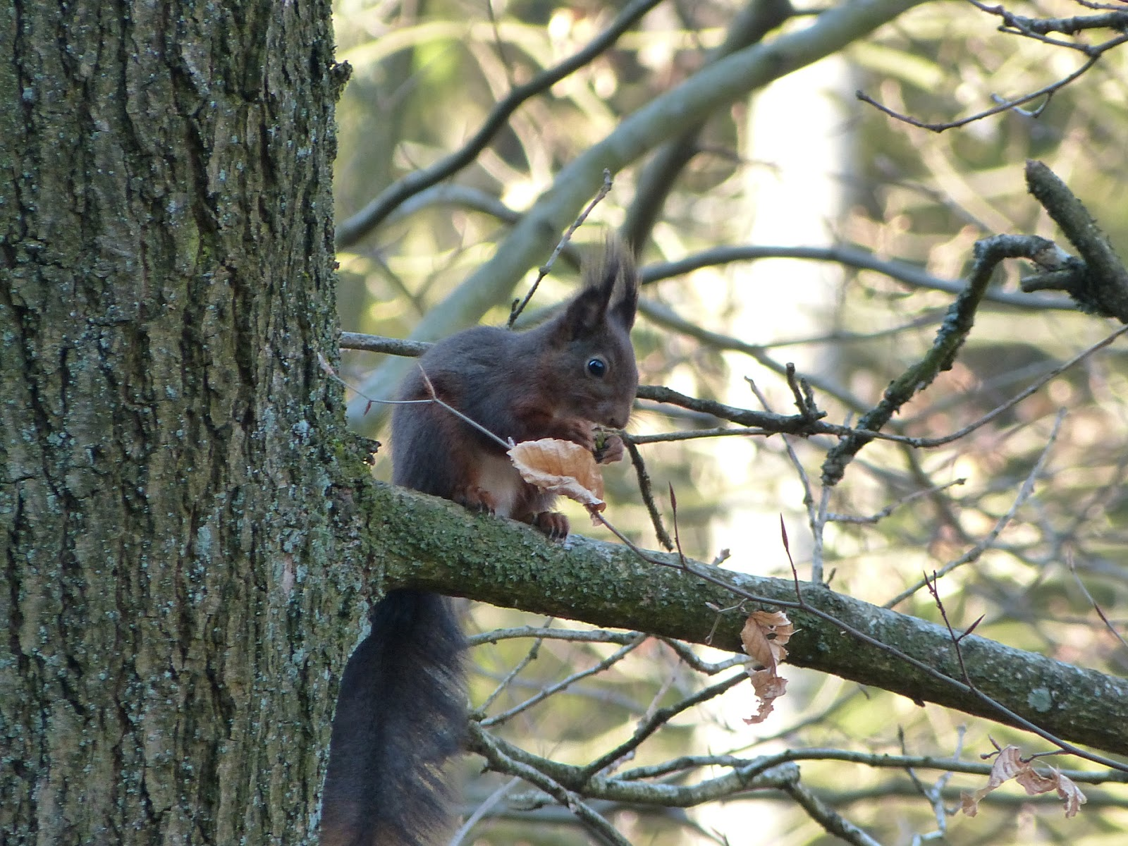 aussehen des eichhörnchen