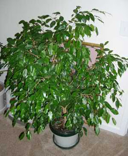 weeping fig, top air-purifying plant