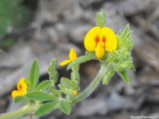 Melosa Stylosanthes viscosa (L.) Sw.