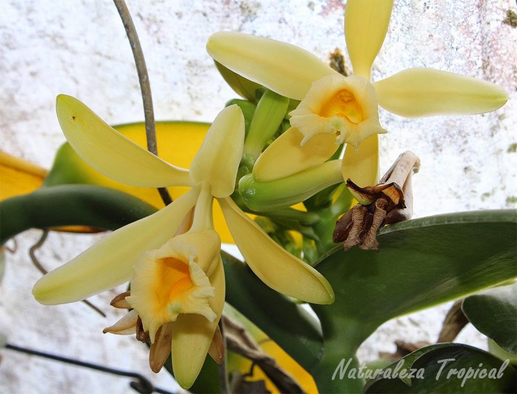 Flores de la planta Vanilla planifolia