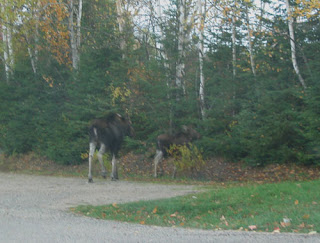 Moose on the loose.