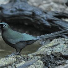 Jenis Dan Ciri Ciri Burung Murai Batu