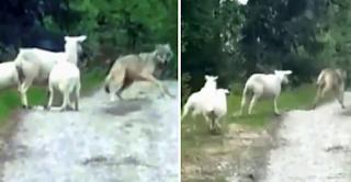 Λύκος επιτίθεται σε πρόβατα κι αυτά τον παίρνουν στο κυνήγι - ΒΙΝΤΕΟ