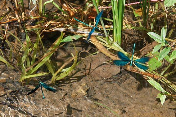 Blauflügel-Prachtlibellen (Calopteryx virgo)