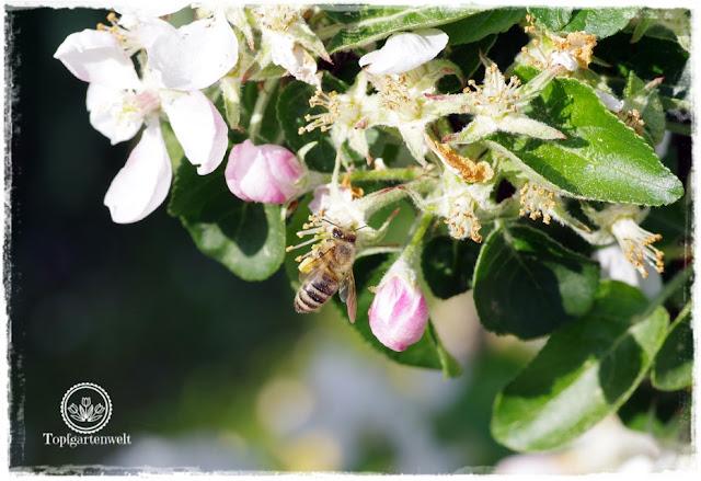 Gartenblog Topfgartenwelt Buchtipp Zwerg- und Säulenobst: Sortenempfehlungen Sorten