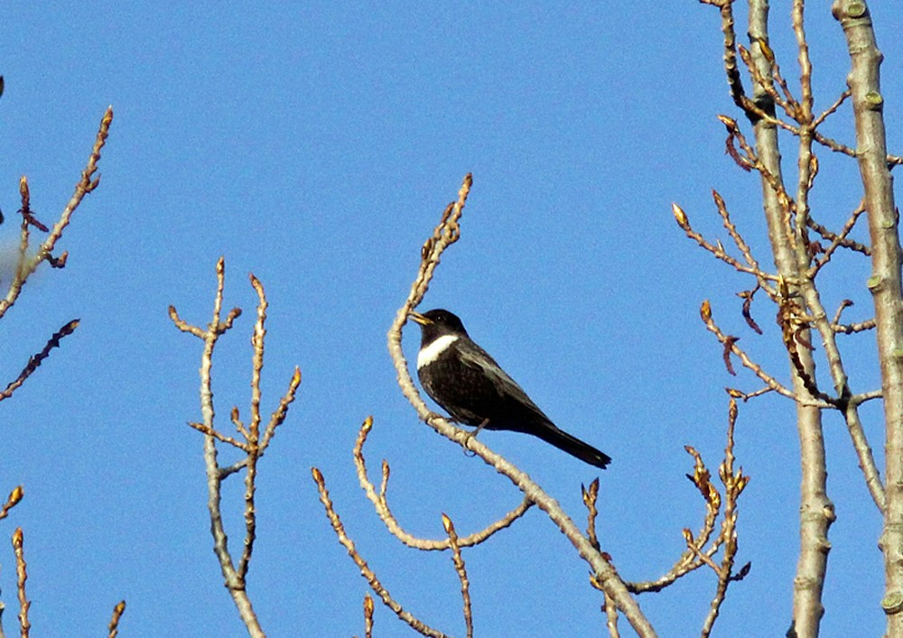 Ring Ouzel Song Recording