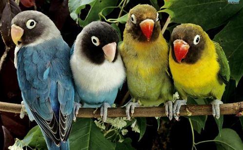 Perawatan Lovebird Lomba