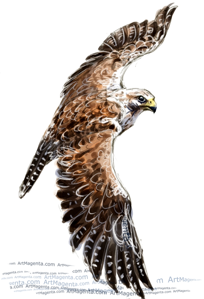 Saker falcon sketch painting. Bird art drawing by illustrator Artmagenta