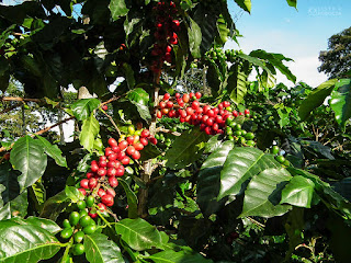 Owoce kawy Kolumbia Eje Cafetero