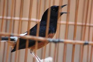 Burung Murai Batu - Tujuan Penangkaran Burung Murai Batu yang Harus Jelas Untuk Lomba atau Untuk Melestarikannya ( Pemilihan Induakan Burung Murai Batu Untuk Lomba atau Kontes Burung Berkicau) - Penangkaran Burung Murai Batu