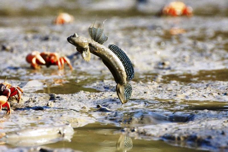 Unduh 62+ Gambar Ikan Glodok Terpopuler