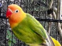 Cara Menjinakkan Lovebird Giras Dan Takut Orang