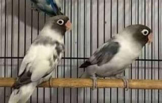 Ciri - ciri  lovebird batman dan tips mencetak lovebird batman.