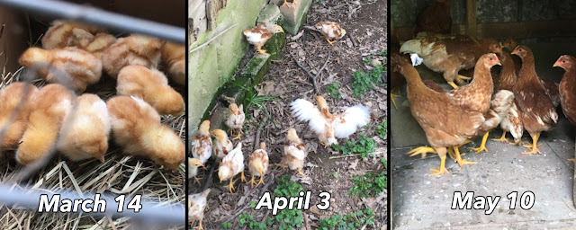 Chicks grow rapidly into Chickens.  Eggs coming soon!