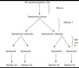 Perbedaan antara spermatogenesis dan oogenesis health and sains world merupakan proses pembentukan sel spermatozoa dibentuk di dalam tubulus seminiferus dan dipengaruhi oleh beberapa hormon yaitu ccuart Image collections