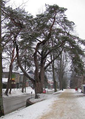 Sosna zwyczajna (Pinus silvestris) - pomnik przyrody.
