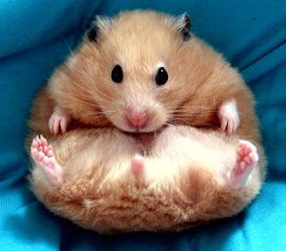 Tanda Tanda Hamster Mau Melahirkan
