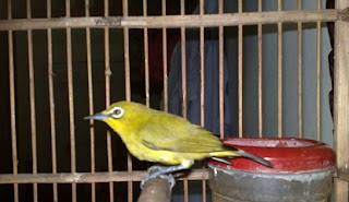 kacamata dada kuning, terbaru, Tips Agar Menjinakkan Pleci Dada Kuning Bakalan,