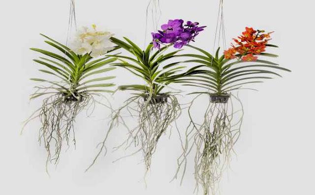Como cuidar de orquídeas vanda