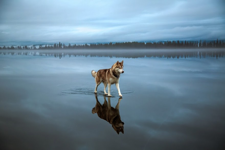 Magical Photos Of Siberian Huskies Playing On A Mirror