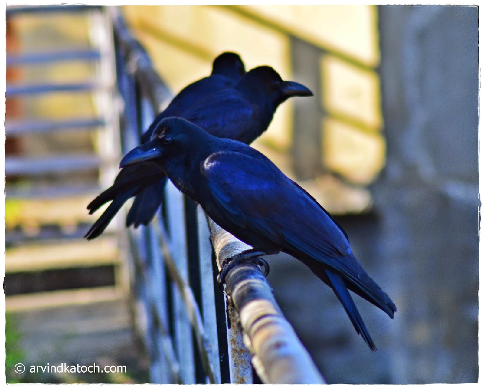 Hilly Crows, Crows, Hills,