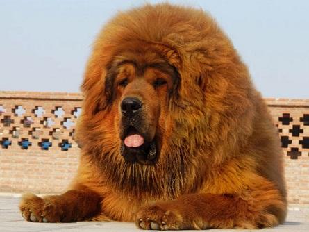 Giant Dog Channel Tibetan Mastiff Photo