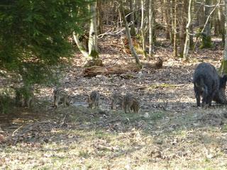 Wildschwein-Frischlinge beim Wildpark-Eingang Parkplatz Unterdill an der Forstenrieder Allee