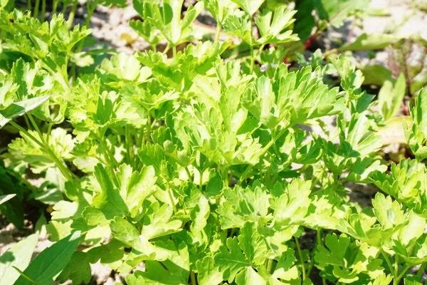 zielona natka pietruszki z ogrodu