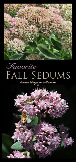 Favourite Fall Sedums