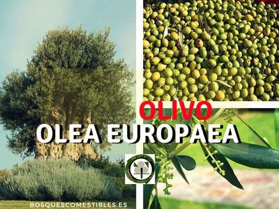 El-olivo-Olea-europaea-y-europaea-var.-silvestris-Acebuche-(olivo-silvestre)
