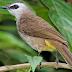 Manfaat Jahe Untuk Burung Trucukan