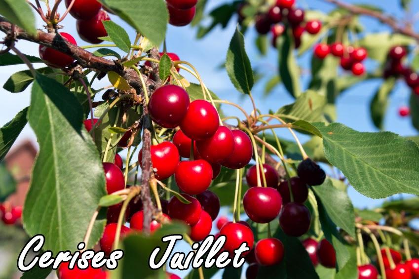 la taille des arbres fruitiers biologique le cerisier
