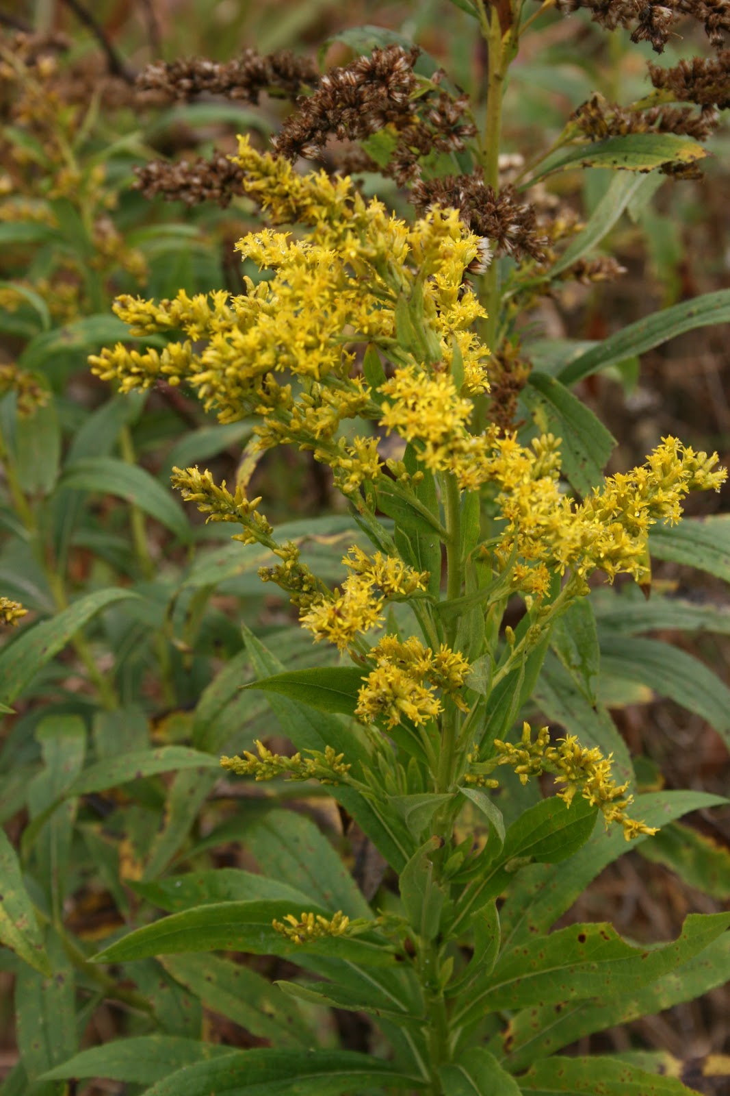 Planting Goldenrod In The Garden: Solidago; Golden Rod; Goldenrod