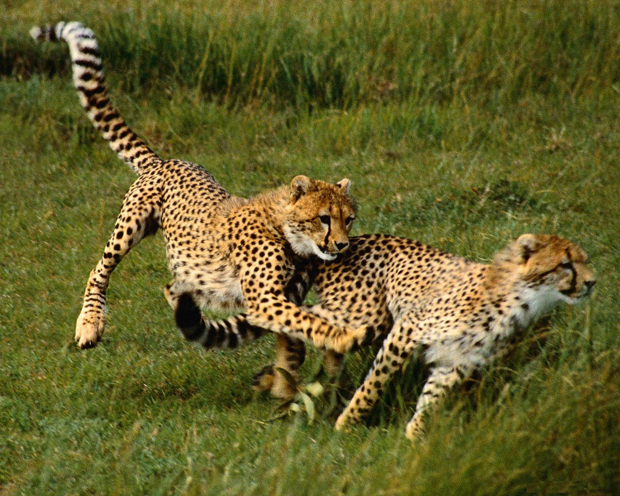 Beautiful Animals Safaris: The Fastest Cheetah In The