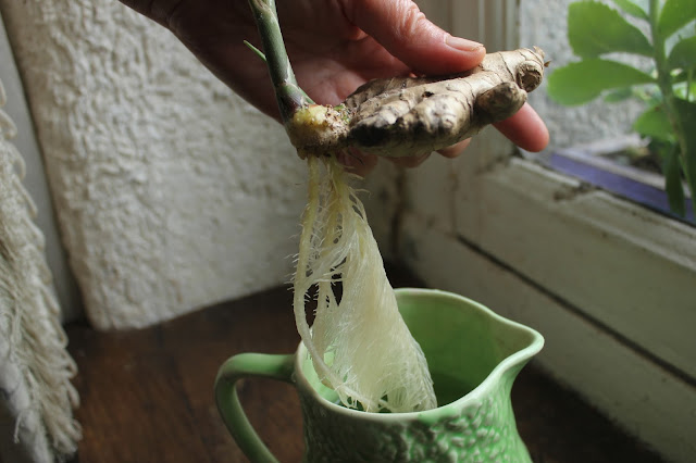 Organic ginger rooted in water