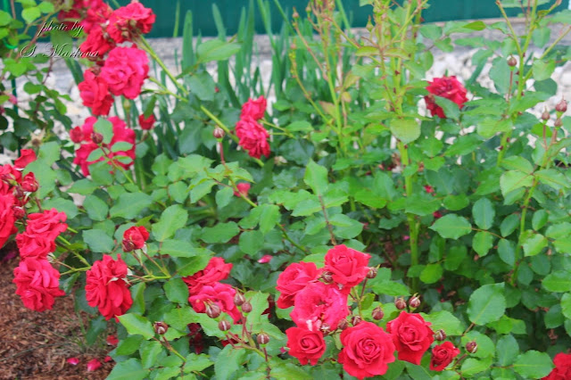 kust-rozy